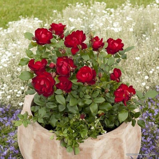 Růže Milano