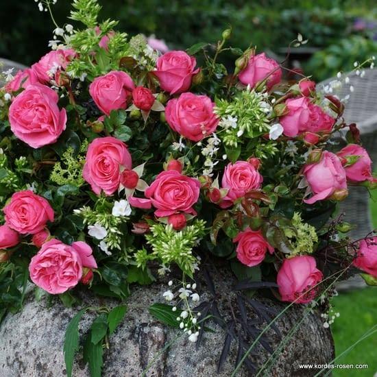 Růže Cherry Lady