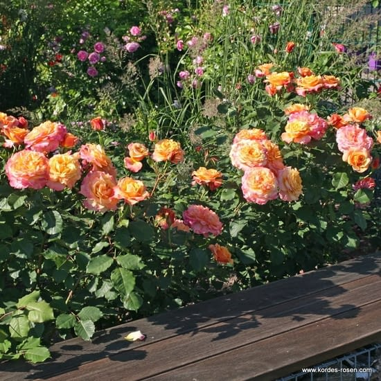 Růže La Villa Cotta