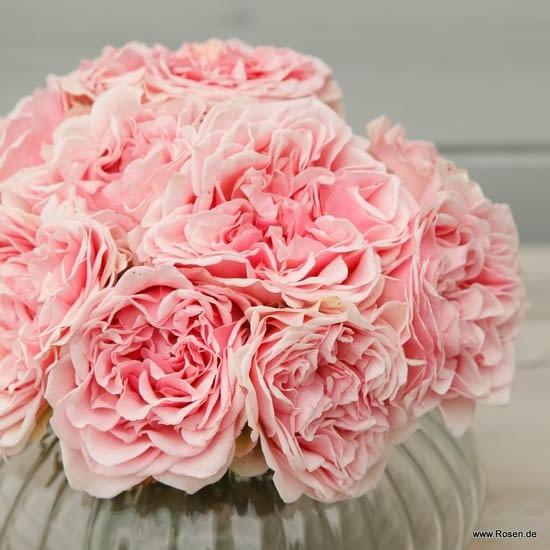 Růže Amorosa