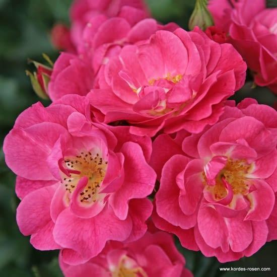 Růže Blühwunder 08