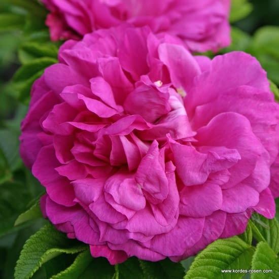 Růže Purple Roadrunner