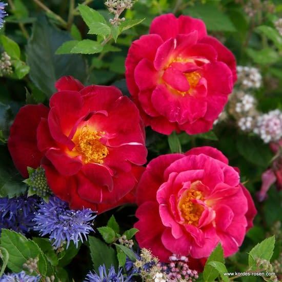 Růže Ile de Fleurs