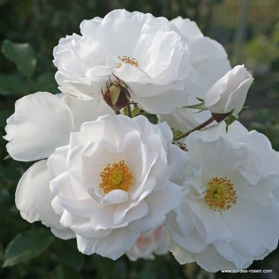 Růže Hella