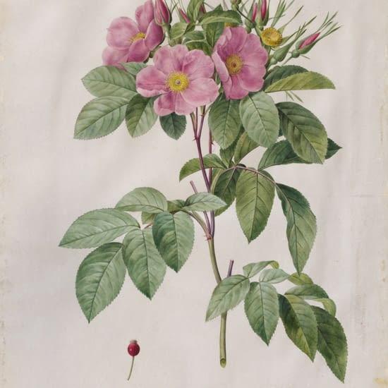 Růže Carolina (Virginiana)