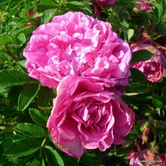 Růže Romantic Roadrunner