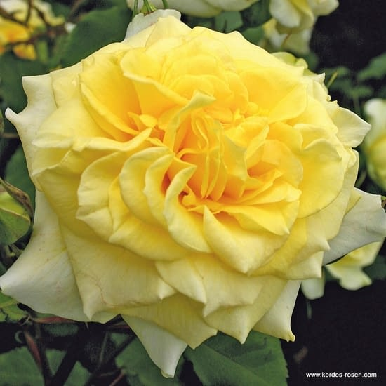 Růže Sterntaler