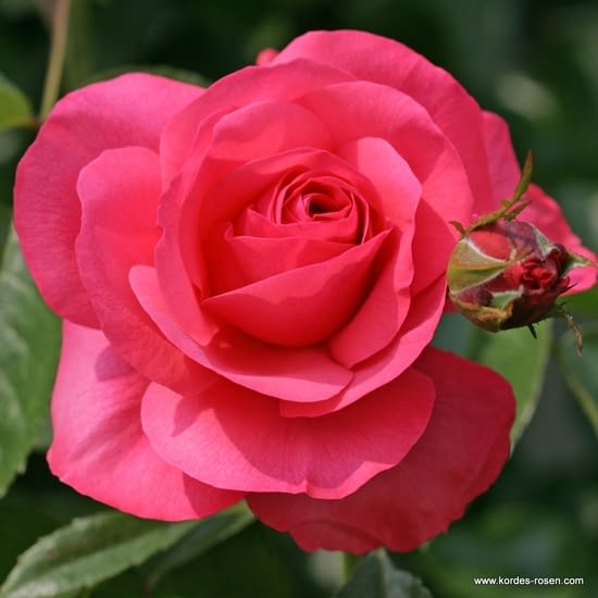 Růže Rosanna