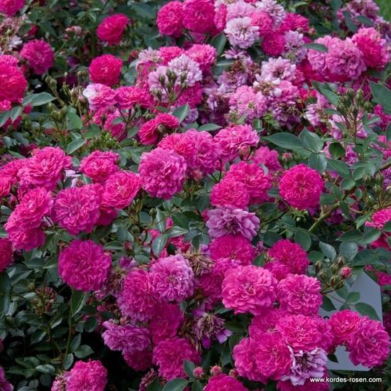 Růže Roxy