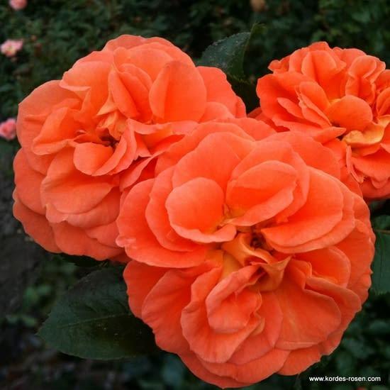 Růže Mango