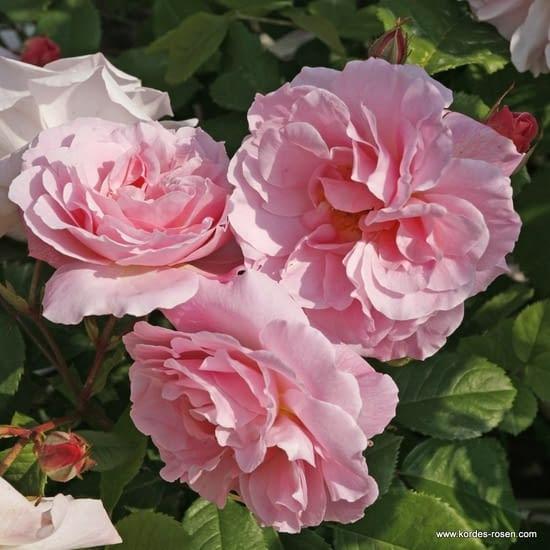 Růže Fritz Nobis