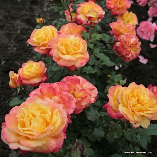Růže Speelwark