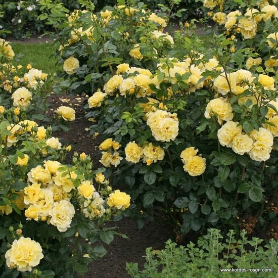 Růže Lichtkönigin Lucia