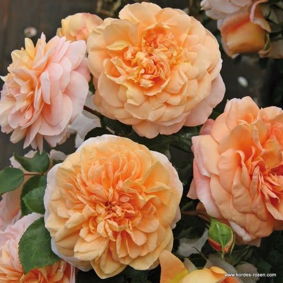 Růže Sangerhäuser Jubiläumsrose