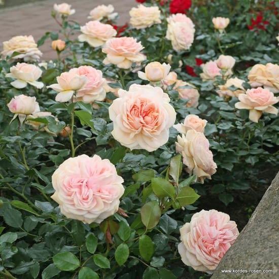 Růže Garden of Roses
