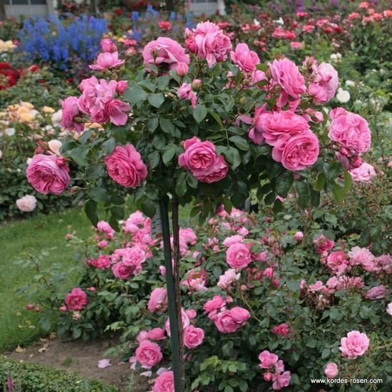 Růže Rosenfee