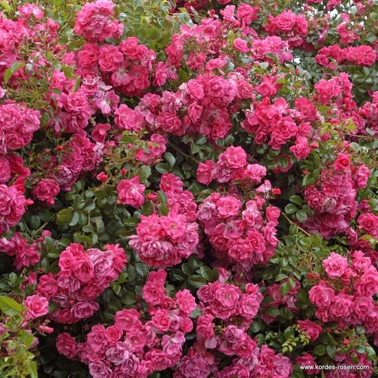 Růže Palmengarten Frankfurt