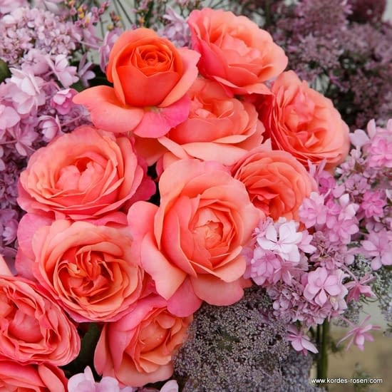 Růže Coral Lions-Rose