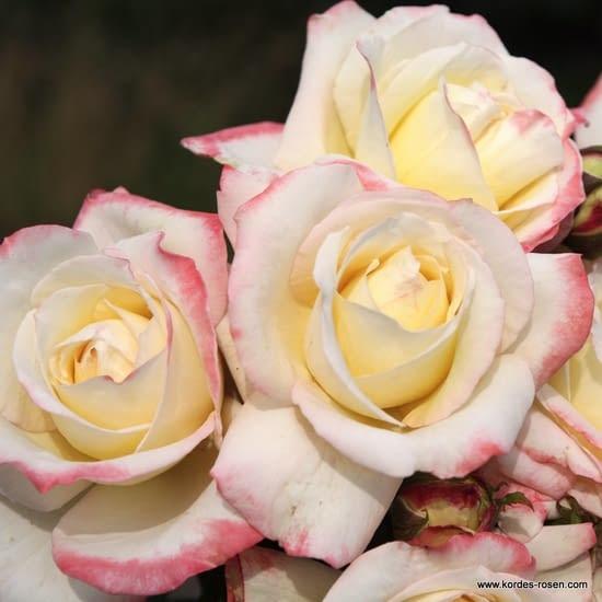 Růže Athena