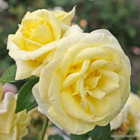 Růže Limona