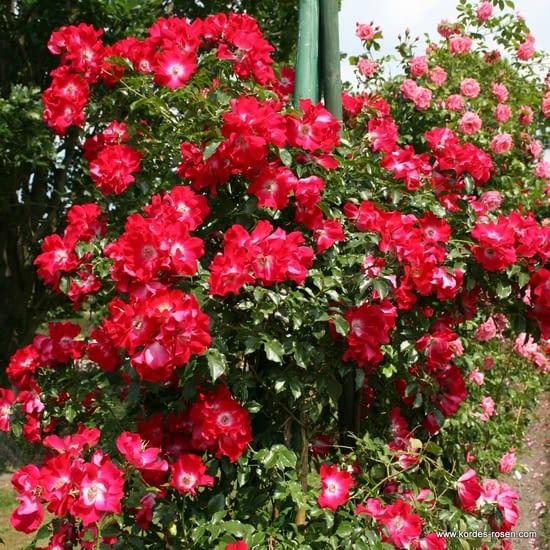 Růže Dortmund