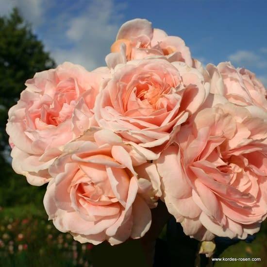 Růže Cremosa