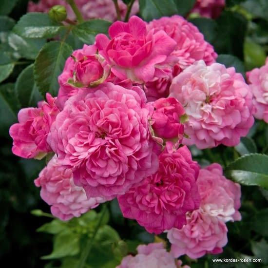 Růže Pepita