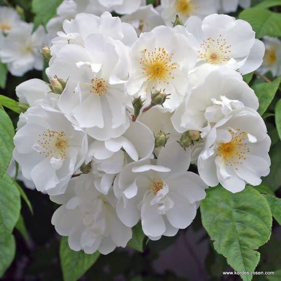 Růže Bobbie James