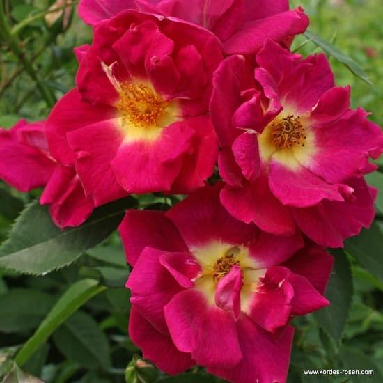 Růže Weg der Sinne