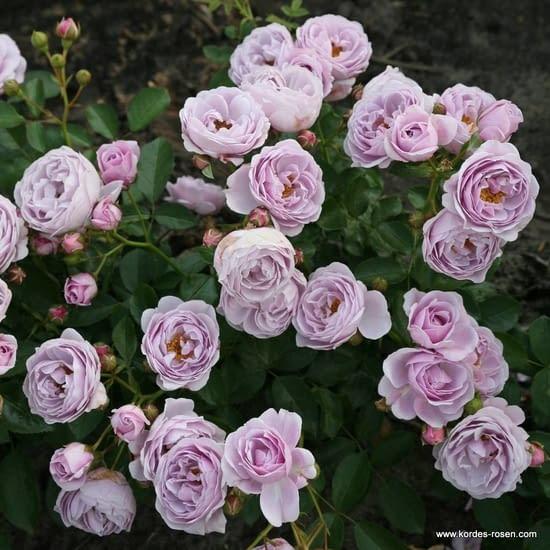 Růže Nautica