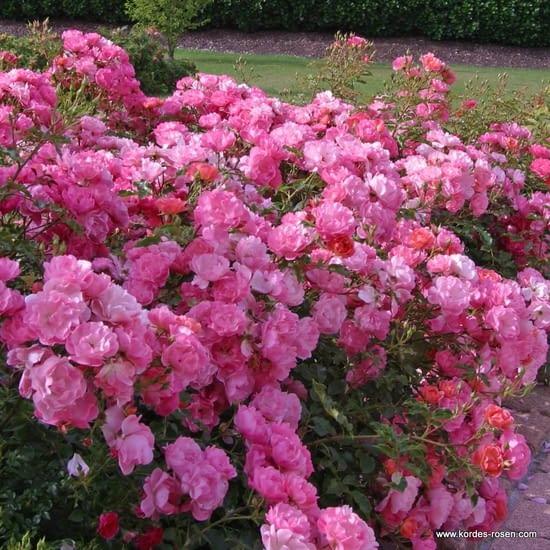 Růže Maxi Vita