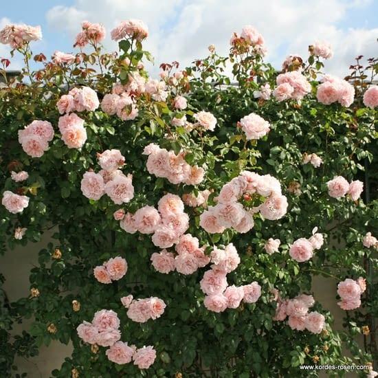 Růže Rose de Tolbiac
