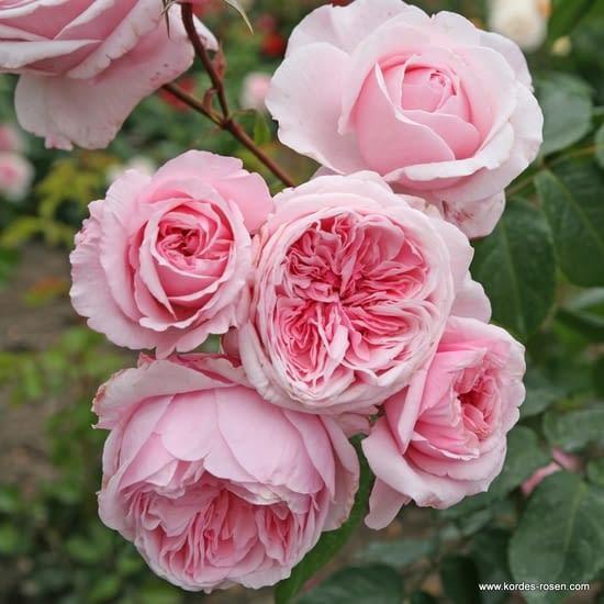 Růže Kiss me Kate