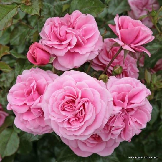 Růže Dornröschenschloss Sababurg