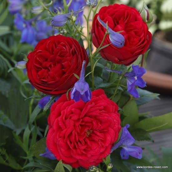 Růže Out Of Rosenheim