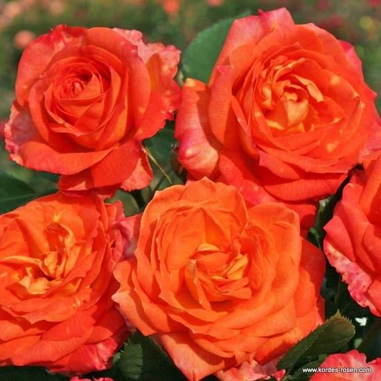 Růže Feurio