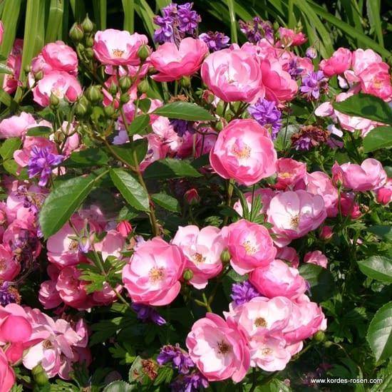 Růže Angela