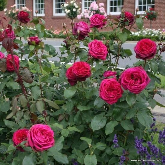 Růže Gräfin Diana