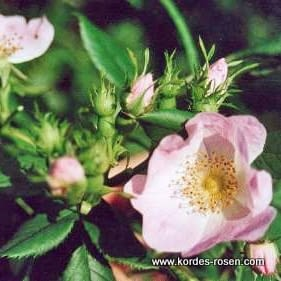 Růže Rubiginosa