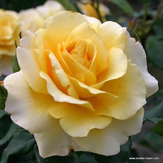 Růže Sunny Sky
