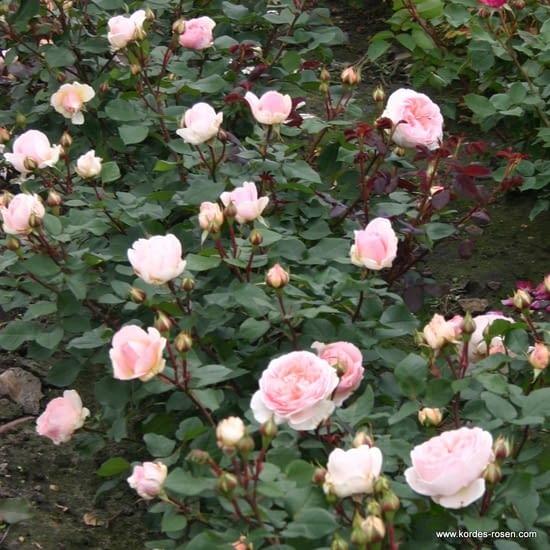 Růže Märchenzauber