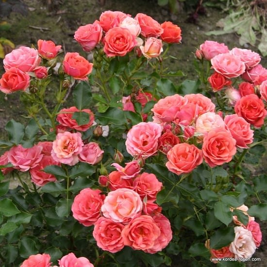 Růže Mandarin