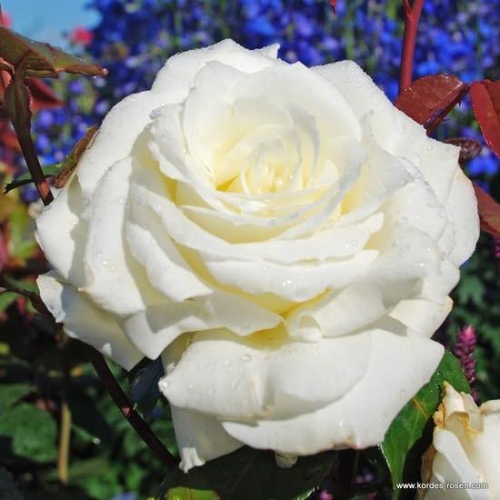 Růže Memoire