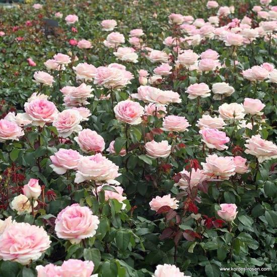 Růže Souvenir de Baden Baden