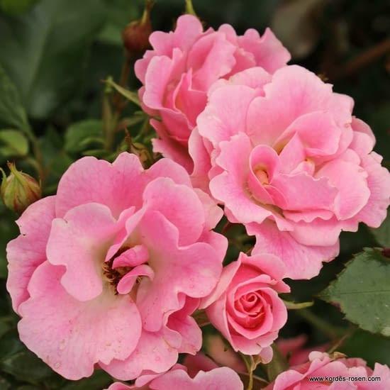 Růže Roselina