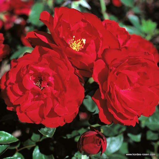 Růže Ulmer Münster