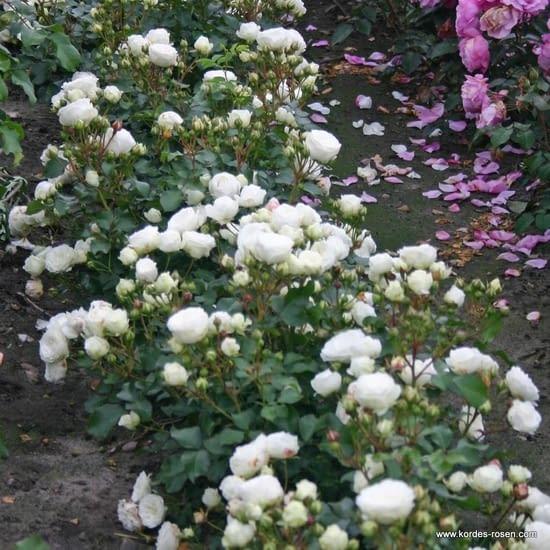 Růže Schneeküsschen