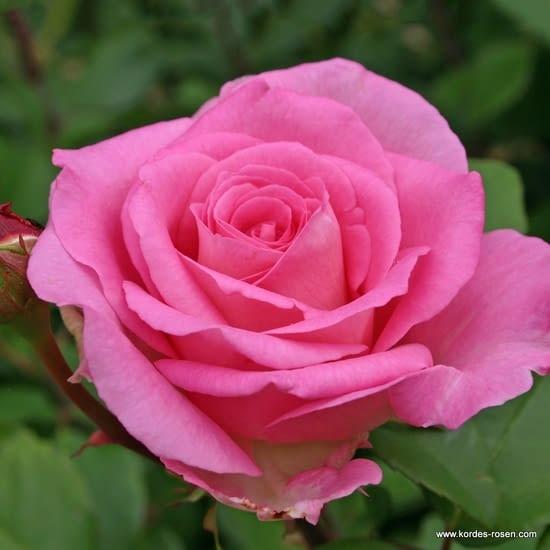 Růže Beverly