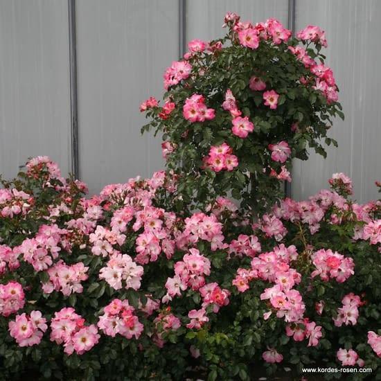 Růže Dolomiti