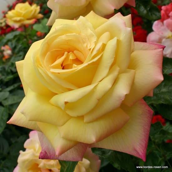 Růže Gloria Dei